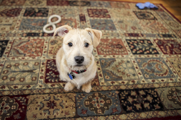 lifestyle puppy photos, mixed breed puppy sitting on rug