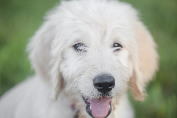 Golden Doodle puppy outside