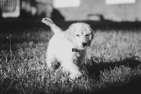 Golden Doodle puppy walking through the grass, black white pet photography