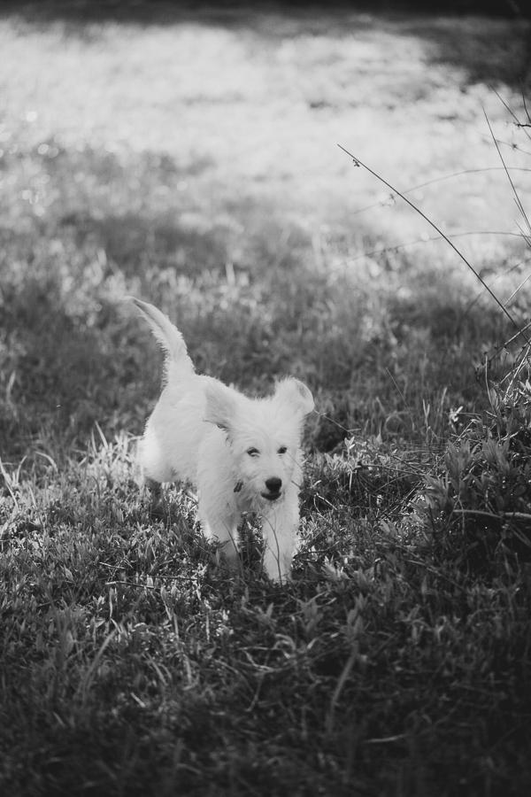 Golden Doodle puppy running through grass