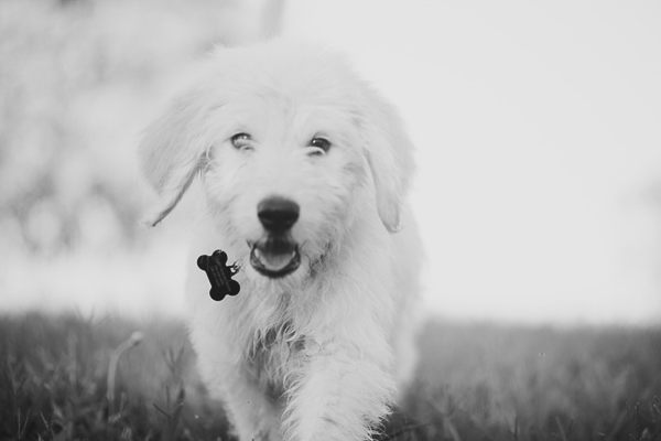black white photos of Golden Doodle puppy walking