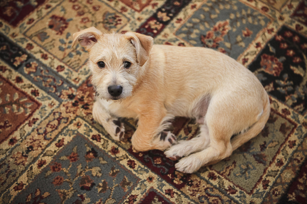 small mutt puppy lying on rug