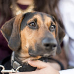 close up of black and tan coon hound/beagle mix