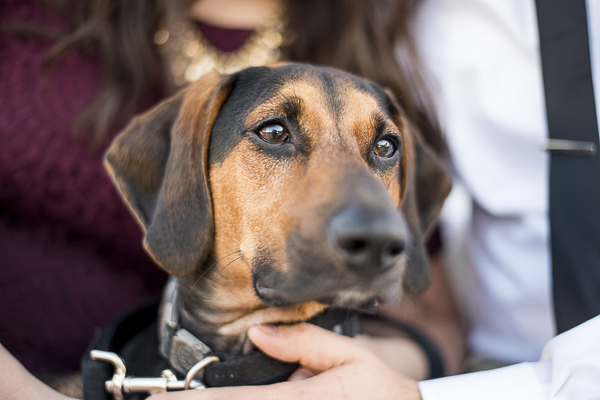 close up of black and tan coon hound/beagle mix during engagement photo session