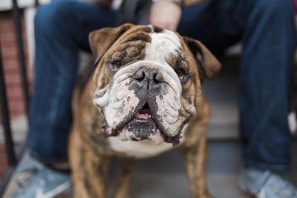 Engaging Tails: English Bulldogs Murph & Grace