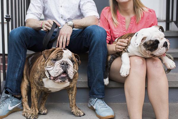 English Bulldogs sitting on stoop, Boston engagement photos