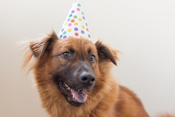 katie-lindgren-gotcha-day-celebration, Chow/German Shepherd mix wearing polka dot birthday hat