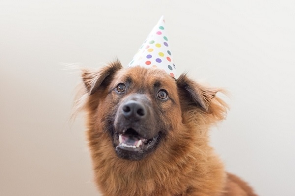 katie-lindgren-mixed-breed-in-birthday-hat, German Shepherd/Chow mix in hat