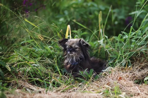 Shih Tzu/Chihuahua mix sitting in grass, dog looks like small wookie