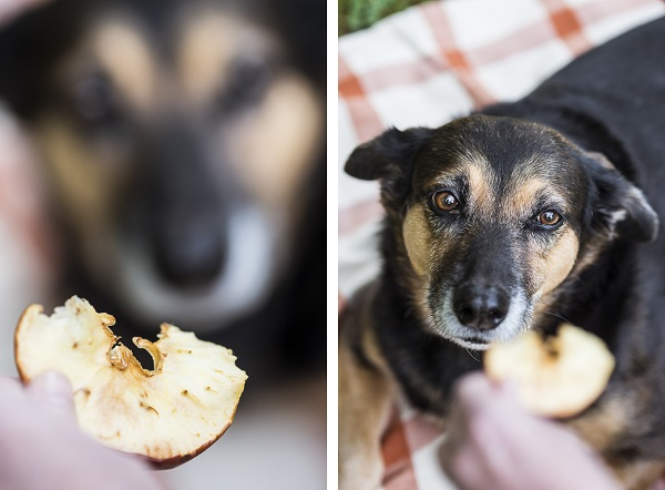 Daily Dog Tag - Fall Treats for Dogs, mixed breed eyeing apple chip