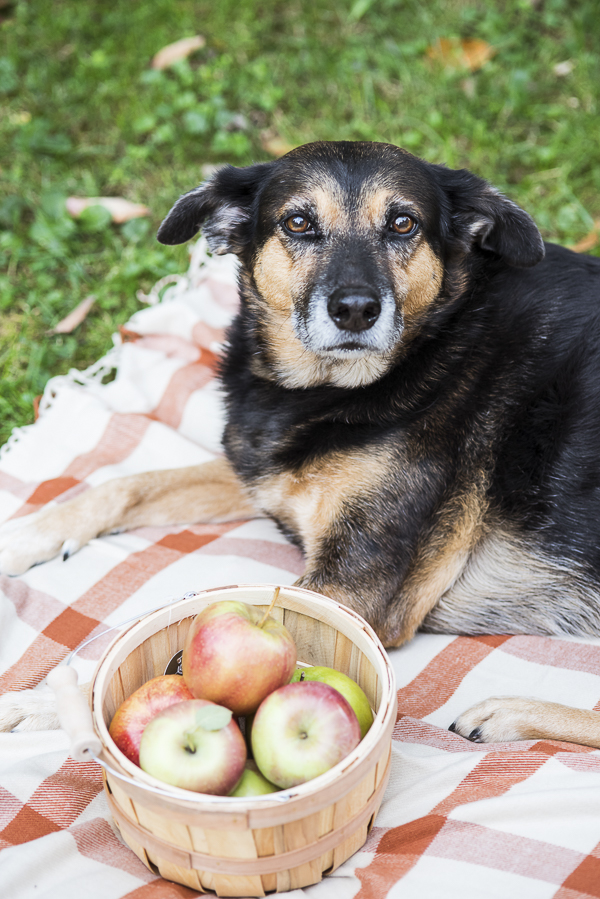 Daily Dog Tag - Fall Treats for Dogs, mixed breed lying on plaid blanket, wooden basket of apples