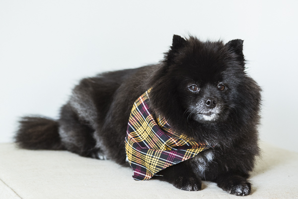 Black Pomeranian wearing black, yellow, red plaid bandana