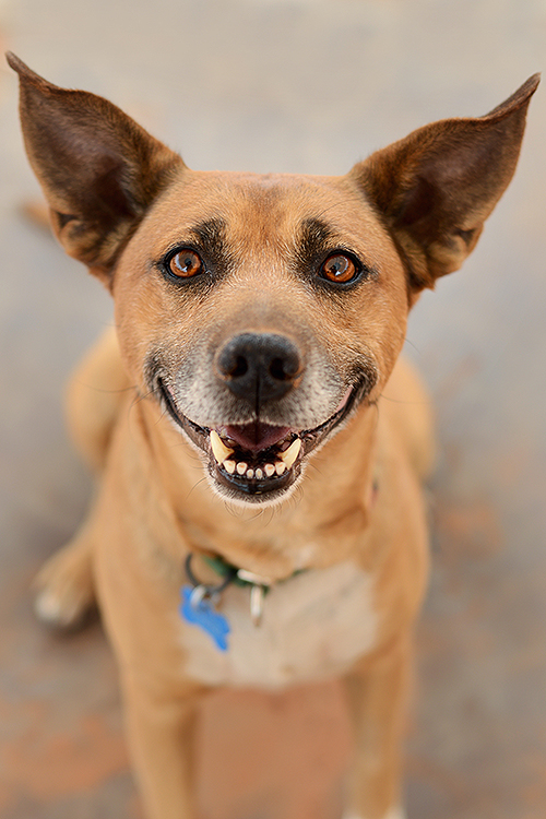 Smiling dog with big ears | Adopt Cowboy from Best Friends Animal Sanctuary