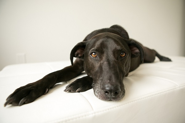 weim-lab-mix, handsome black dog lying on white cushion, Nashville dog photography, Mandy Whitley