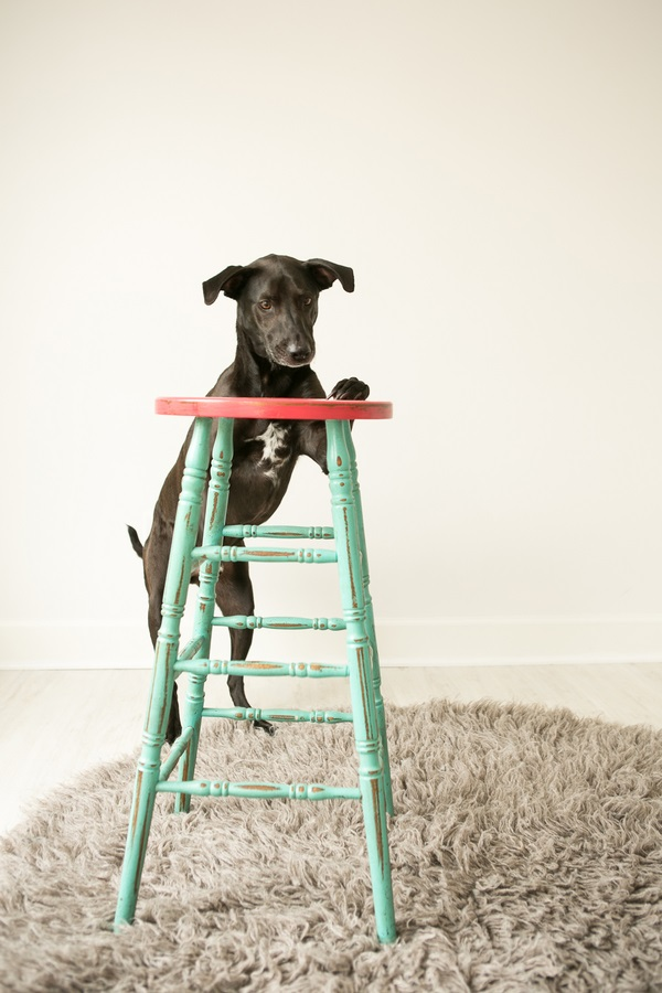 black-dog-climbing-green-stool, Mandy Whitley, Nashville dog photographer