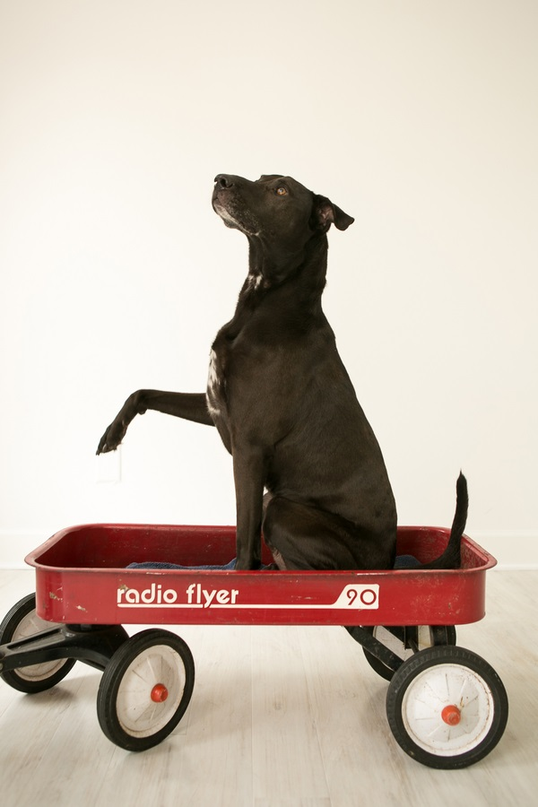 black-dog-in-red-wagon, Nashville studio dog photographer