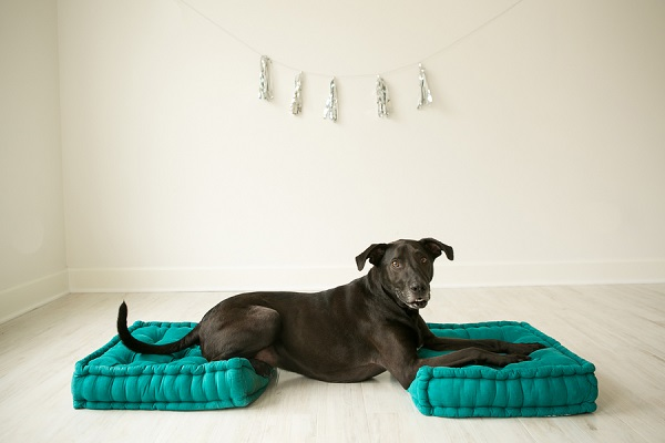 Weimaraner/Lab mix, dog-on-blue-pillows