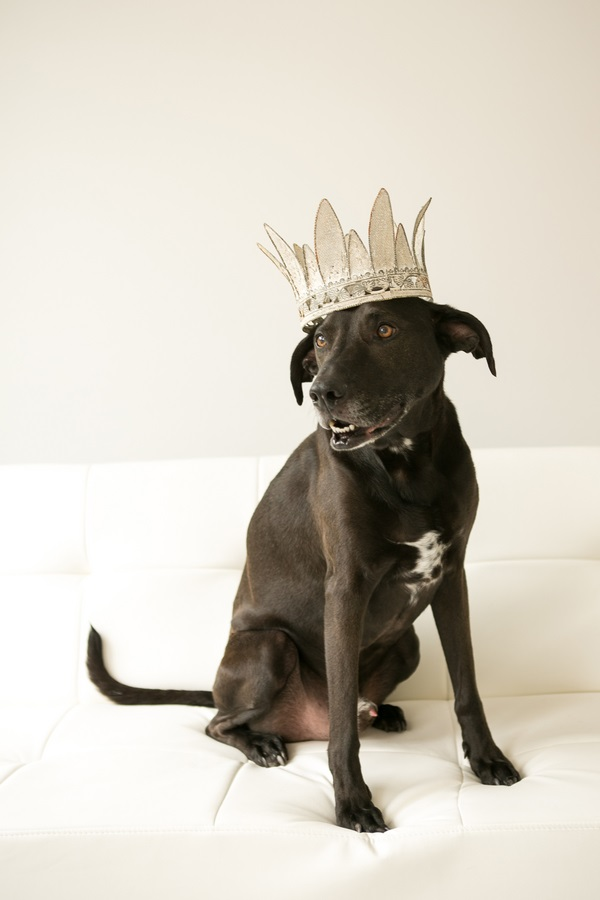 Lab mix, black dog wearing crown, studio pet photography, Mandy Whitley