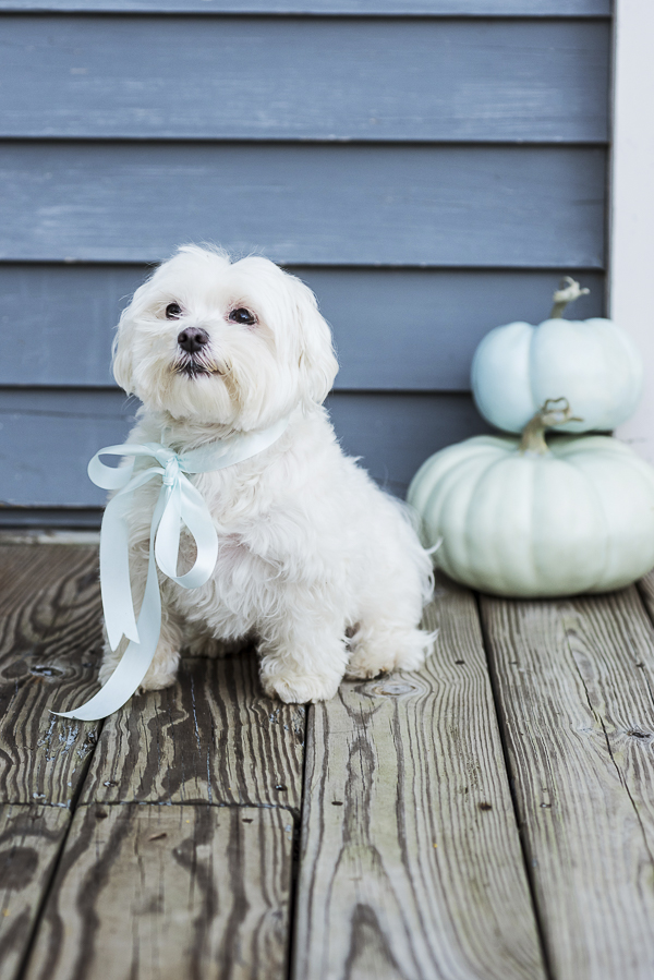 Daily Dog Tag, Maltese wearing pale blue ribbon, green, blue pumpkins in background, too cute to spook