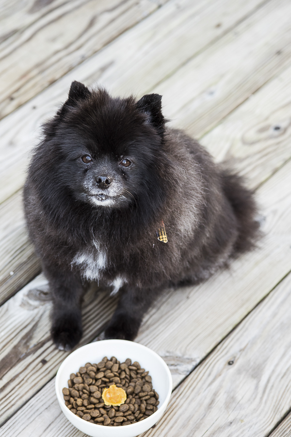 black Pomeranian sitting on deck waiting to eat, pumpkin treats for dogs Daily Dog Tag - Fall Treats for Dogs
