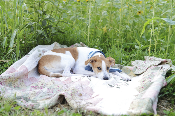 brown white dog lying on quilt in field