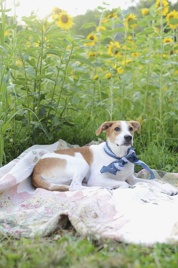 brown and white dog lying on quilt at edge of sunflower field