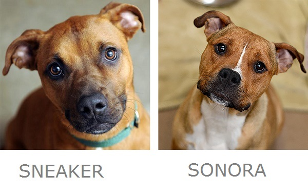 sneaker-sonora-adoptable-dogs-best-friends-animal-sanctuary