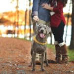 Silver Lab and couple at lake Autumn engagement session