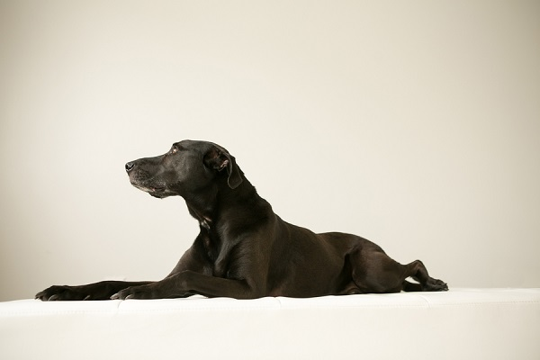 handsome black dog in studio, Weimaraner/Lab mix, Nashville dog photography
