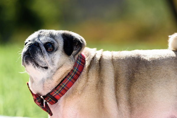 sweet old-pug-standing, end of life dog portraits