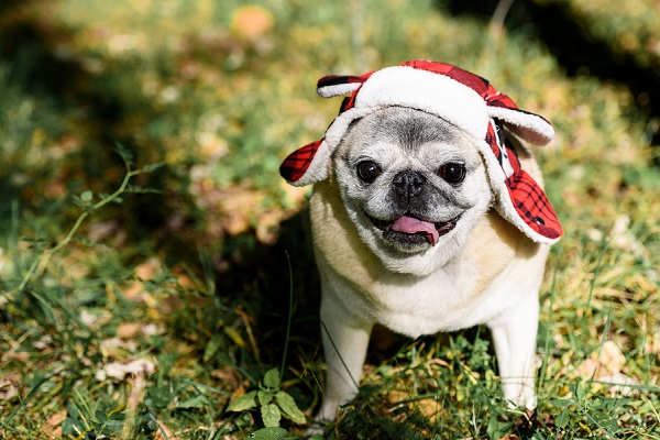 In Loving Memory: El Guapo the Senior Pug - Daily Dog Tag