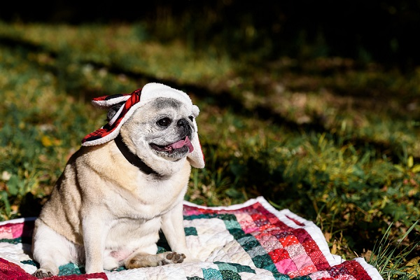 senior-pug-in-red-plaid-hat, lifestyle dog photography