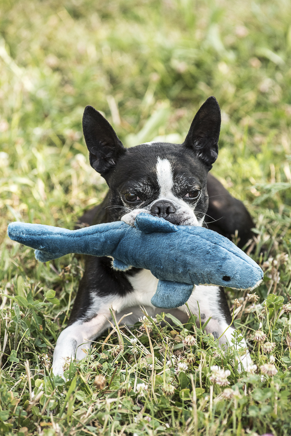 Boston Terrier holding plush shark toy