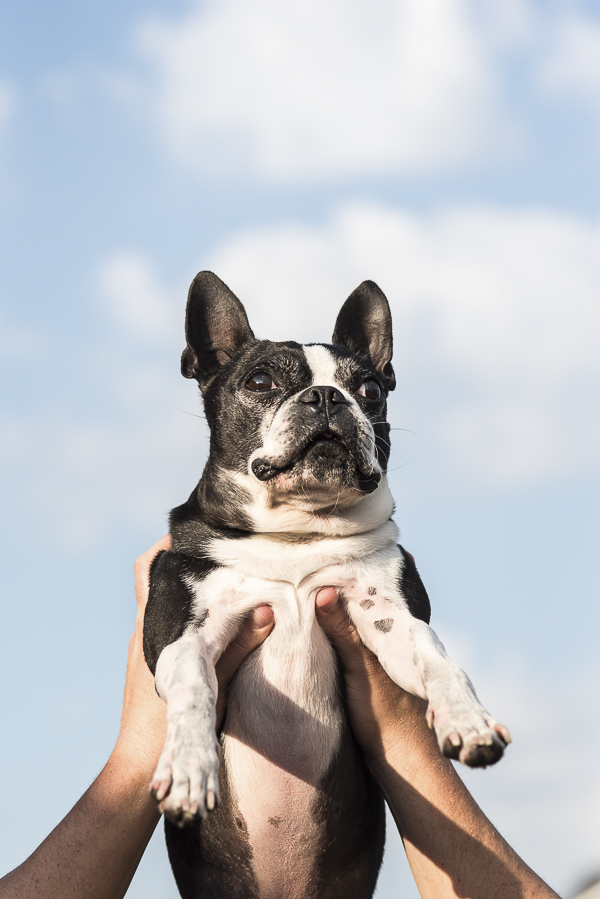 Boston Terrier-everything the light touches-Simba-pose