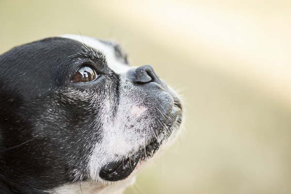 adorable-older-Boston-Terrier, on location dog photography
