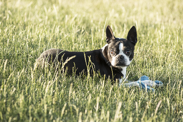 Boston Terrier lying in grass with shark toy