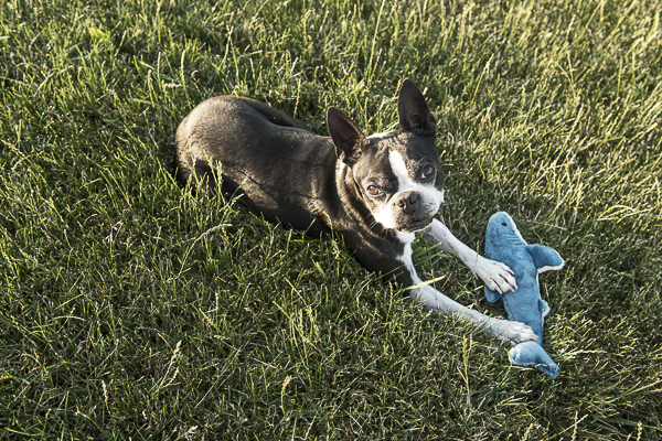 Boston Terrier, plush shark toy, lifestyle dog portraits