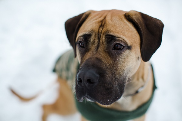 Mastiff wearing green and camo sweater