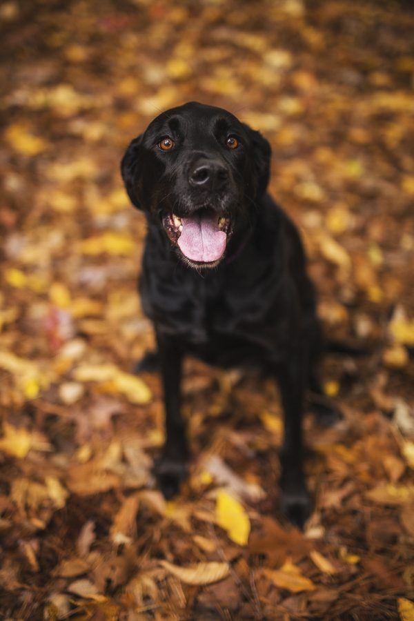 engagement-session-with-dog, black Great Dane/Lab mix sitting in fall leaves