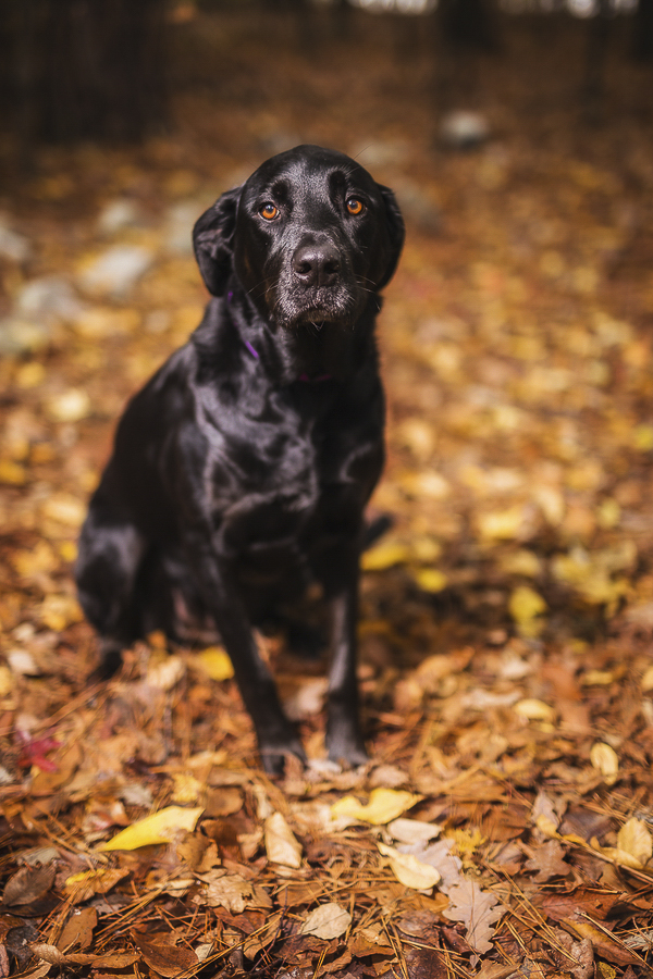 beautiful black Lab/Great Dane mix sitting in golden leaves, on location dog photography