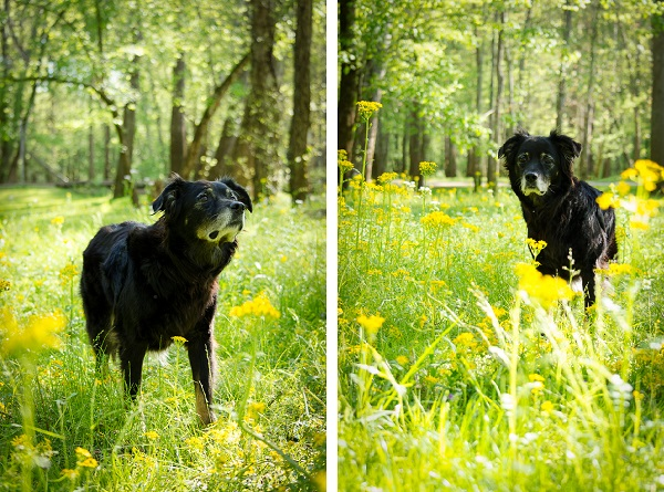 senior black dog with yellow flowers