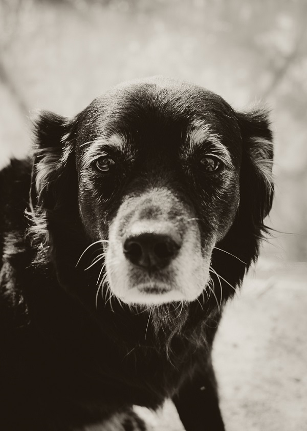 sepia toned portrait Australian Shepherd Mix, older black dog with gray muzzle