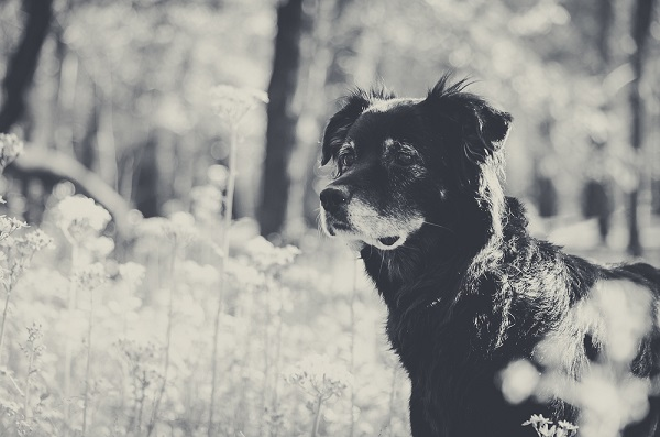 Australian Shepherd Mix with gray muzzle, on location dog portraits, black white pet photography
