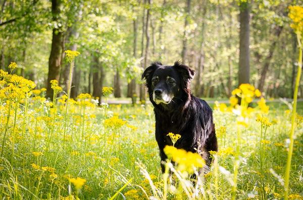 older black dog standing yellow wildflowers