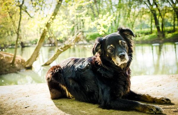 Australian Shepherd Mix lying near water's edge, on location dog portraits