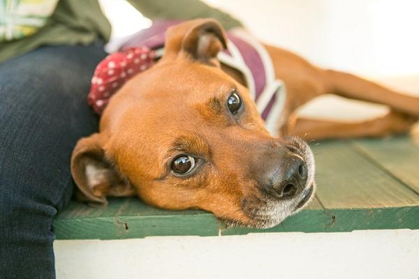 ginger dog lying on green porch, lifestyle dog portraits