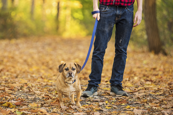 Puggle walking, gold leaves, CNY fall day