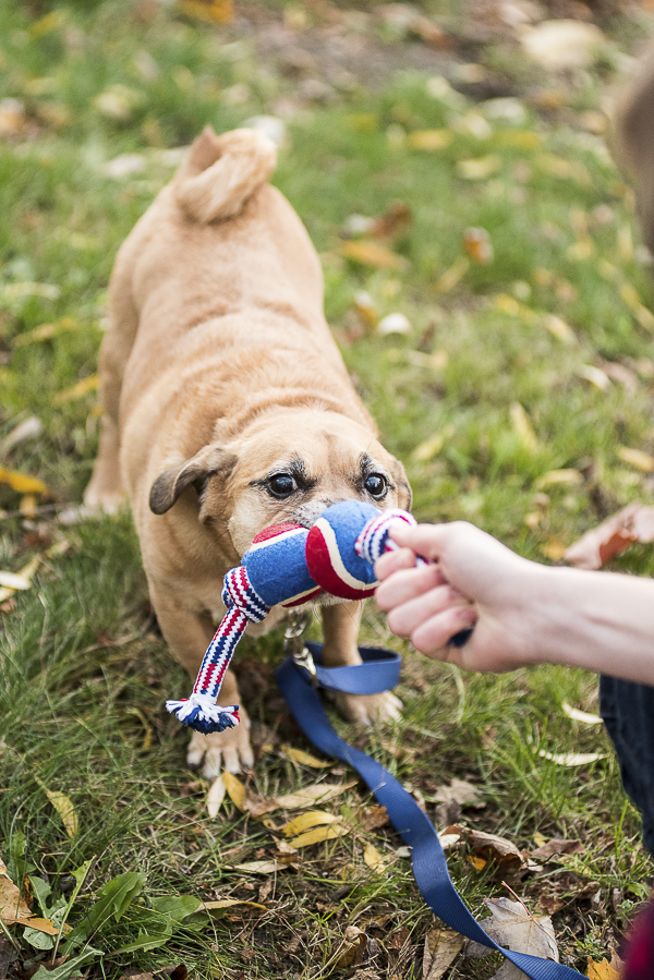 Puggle playing tug of war