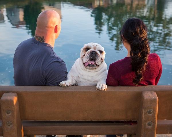 couple sitting on bench, English Bulldog facing photographer