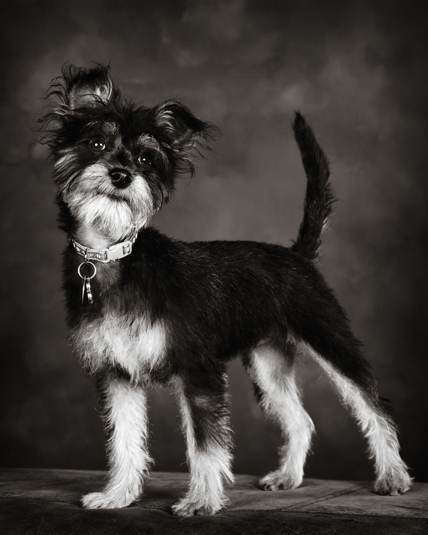 terrier mix, studio dog photography
